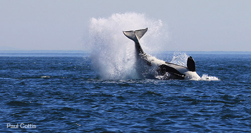 WhalewatchingVictoria1-PaulCottis2